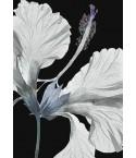 Hibiscus rosa sinensis A3